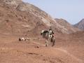 Karawane in der Arabischen Wüste